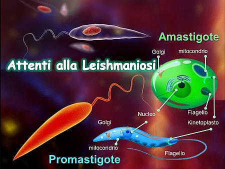 Attenti alla Leishmaniosi